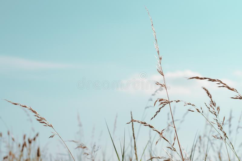 Tall Wild Grasses under Aqua Blue sky in Summertime stock images