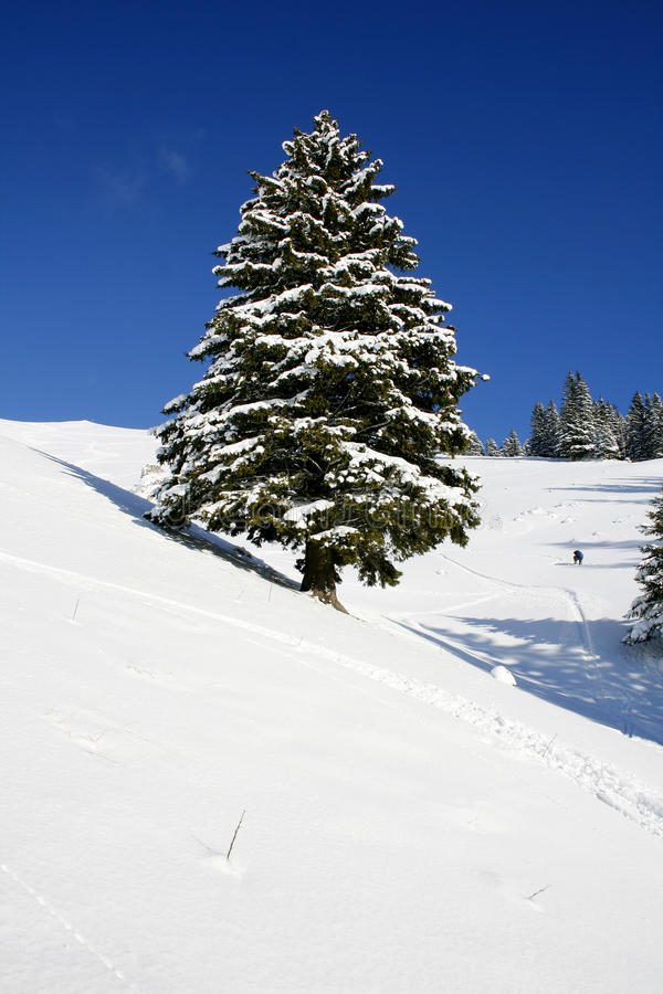 Tall winter fir-tree on snow slope stock images
