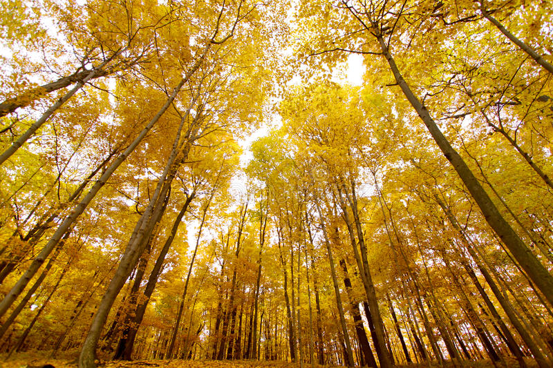 Tall yellow maple trees stock image