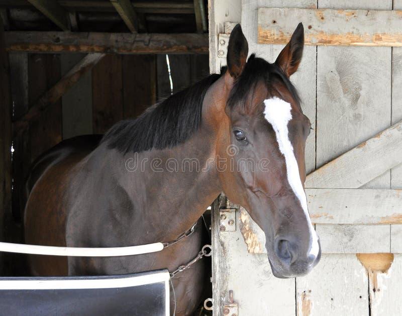 Talladega, Blaze Racehorse blanca fotos de archivo libres de regalías