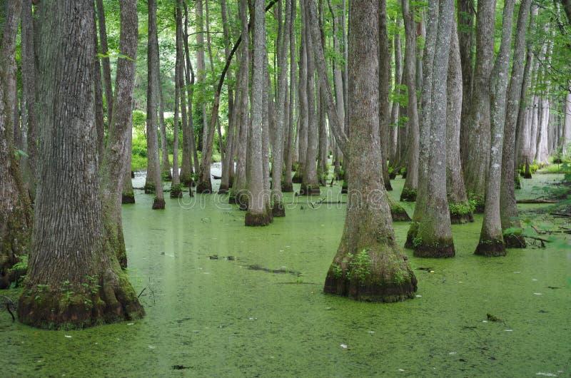 Tallahassee Florida Swampland royaltyfri foto