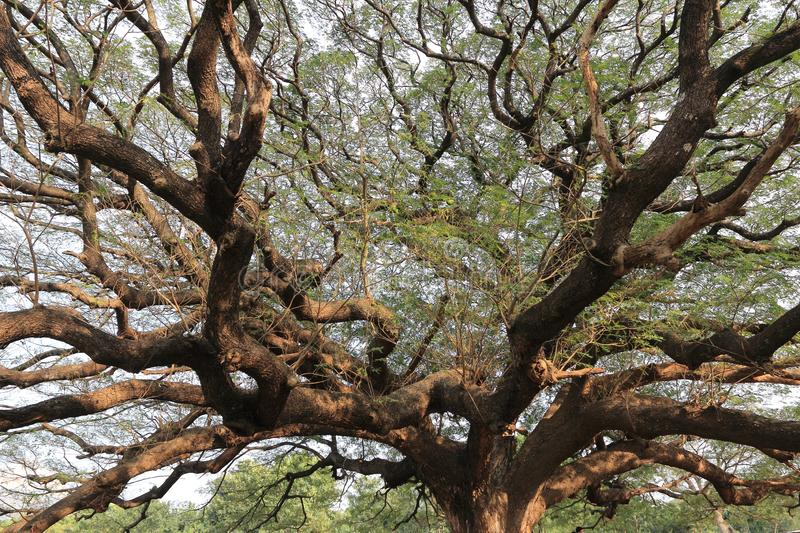 Tallest and oldest trees in Thailand. The thickest tallest and oldest trees in Thailand stock images