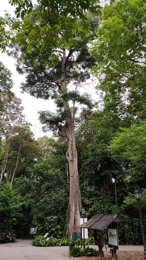 Tallest tree with large trunk royalty free stock photo