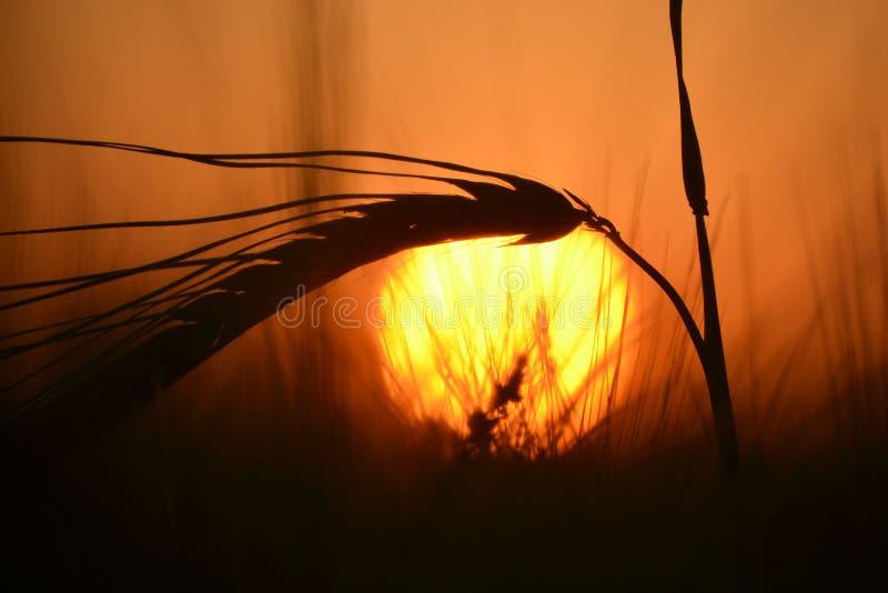 Tallo del grano en la puesta del sol fotografía de archivo libre de regalías
