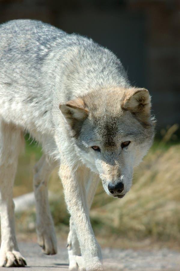 Wolf Stalk foto de archivo