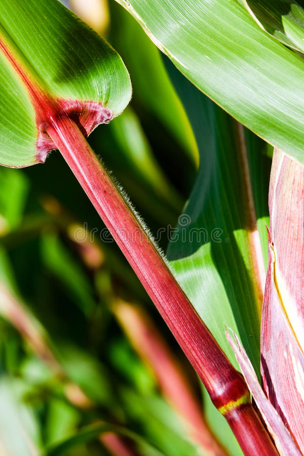 Tallo del maíz con nodo fotos de archivo
