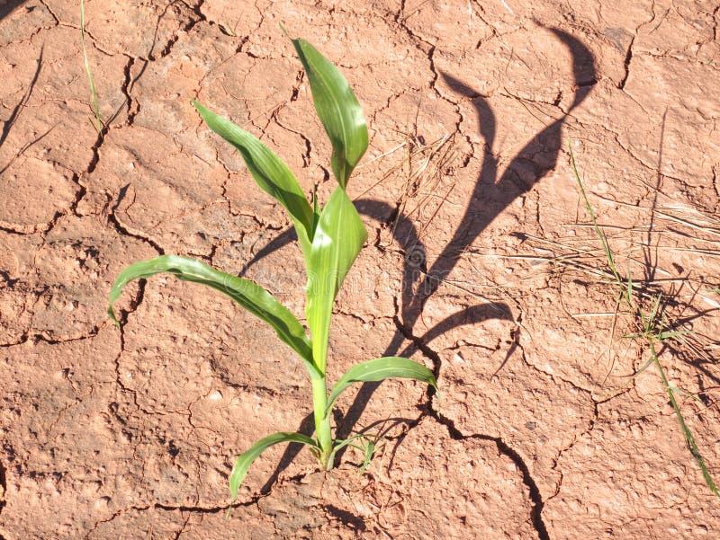 Tallo del maíz en suelo férrico rojo seco sin humedad y alimentos fotografía de archivo libre de regalías