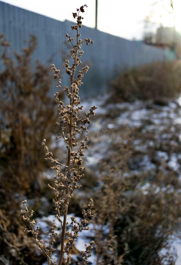 Tallo seco de una mala hierba en invierno en el sol de la mañana imagen de archivo libre de regalías