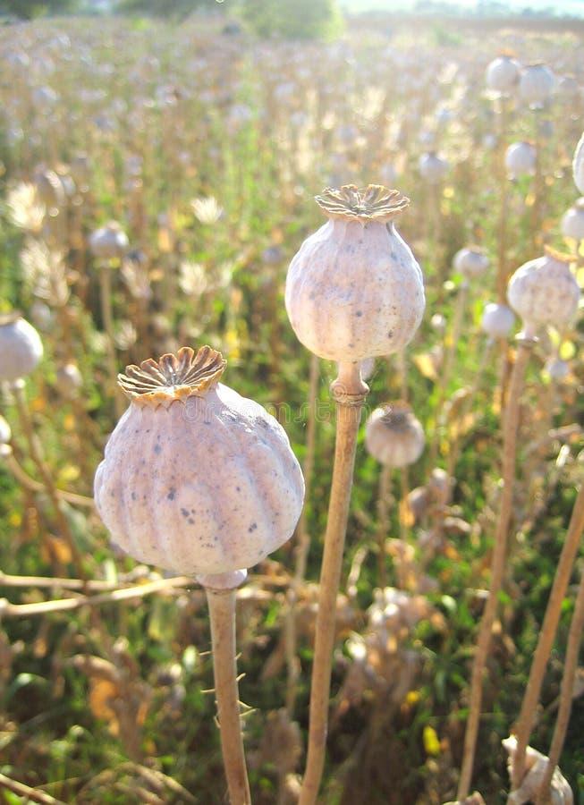 Tallo seco largo de la semilla de amapola en luz trasera fotografía de archivo libre de regalías