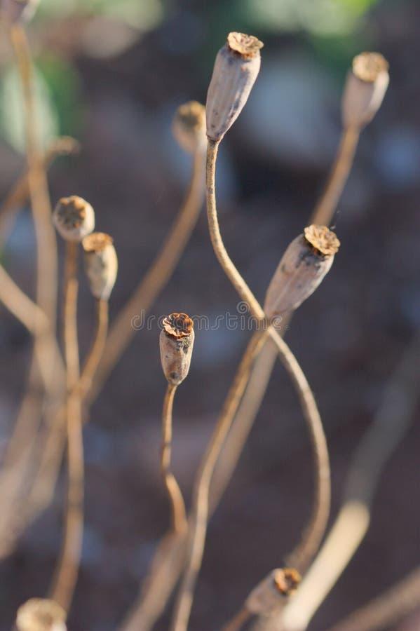 Tallos de algunas amapolas secadas en el campo fotografía de archivo