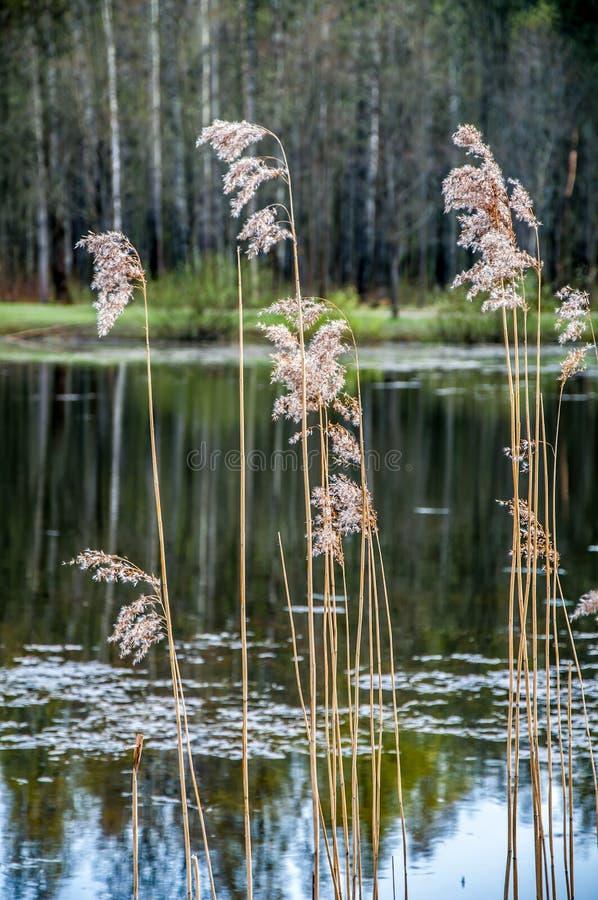 Tallos de Reed en el agua foto de archivo