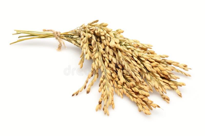 Tallos del arroz foto de archivo libre de regalías