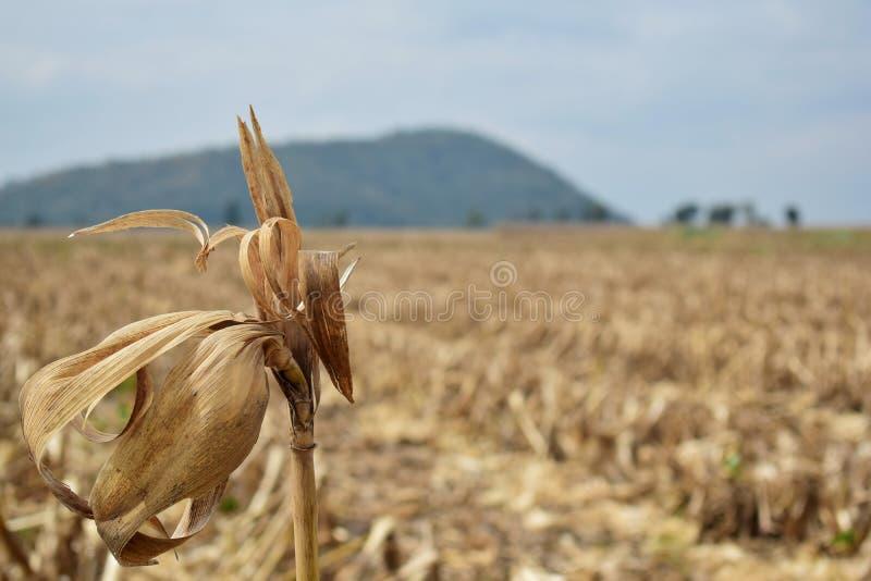 Tallos del maíz imagen de archivo libre de regalías