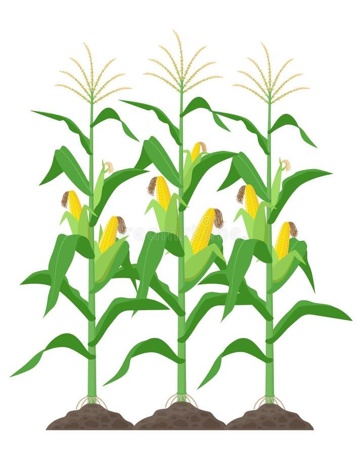 Tallos del maíz aislados en el fondo blanco Plantas de maíz verde en el ejemplo del vector del campo en diseño plano stock de ilustración
