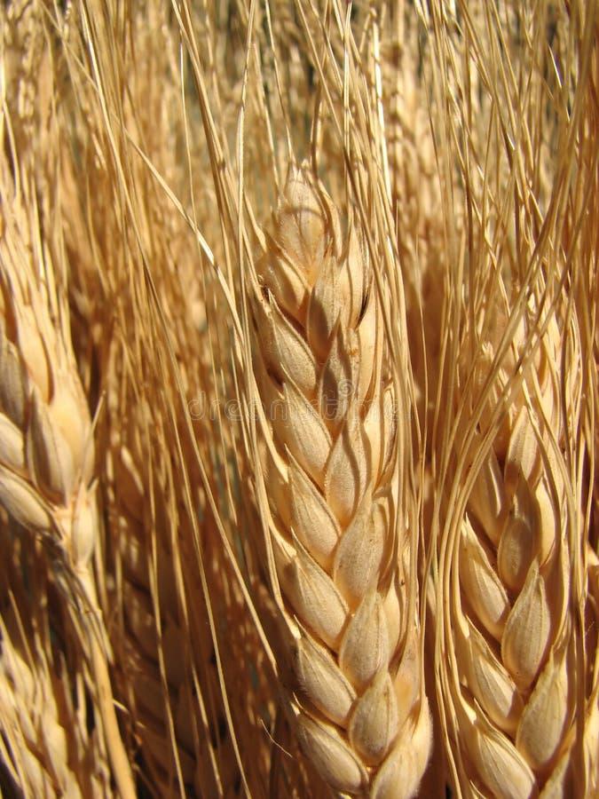 Tallos del trigo imagen de archivo libre de regalías