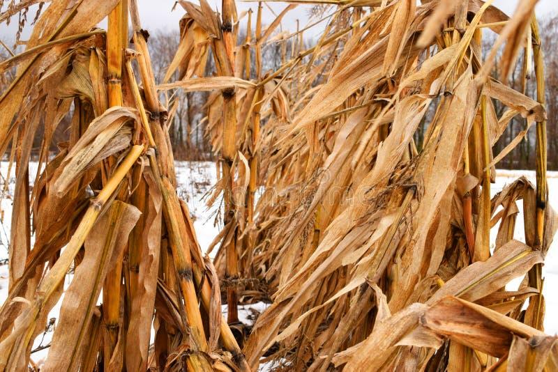Tallos secos del maíz imagenes de archivo