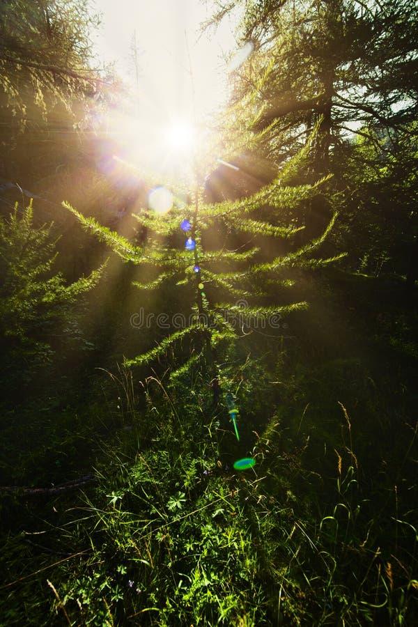 Tallskog under solnedgång royaltyfri foto
