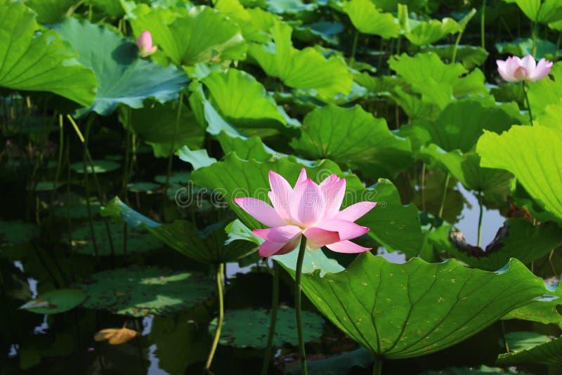Talrijke lotusbloembladeren en verscheidene lotusbloembloemen stock afbeeldingen