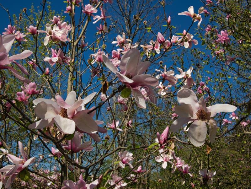 Talrijke magnoliabloesems met andere bomen stock foto's