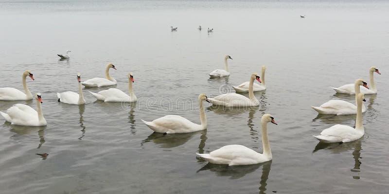Talrik flock av vita svanar på en lugna yttersida av vattnet Härliga behagfulla kungliga fåglar Fridsam naturlig bakgrund arkivbild