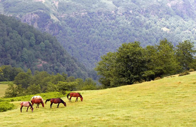 Horses grazing in Alborz. Horses grazing in meadows of Talysh highlands with background of forest stock photos