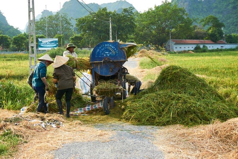 Tam Coc, Vietnam - 8 de junio de 2019: Los granjeros vietnamitas cosechan el arroz en el coc de Tam fotos de archivo