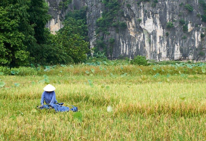 Tam Coc, Vietnam - Juni 8, 2019: De Vietnamese landbouwers oogsten Rijst in Tam coc royalty-vrije stock foto's