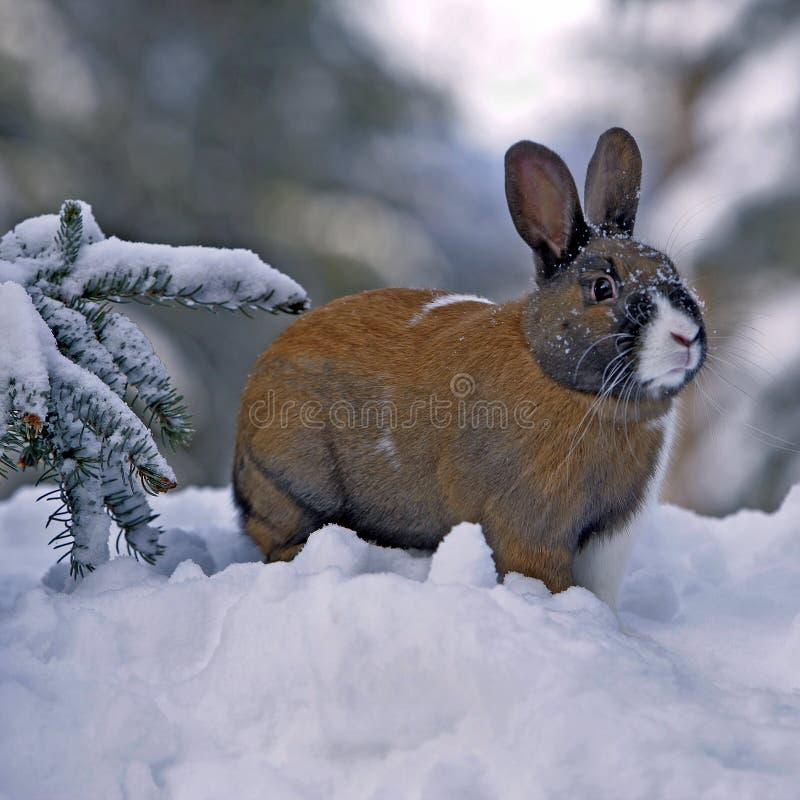Tam konijn in de winter stock fotografie