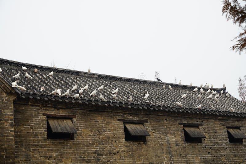 Tam są wiele gołębie odpoczynek na starym domu w wiosce fotografia royalty free