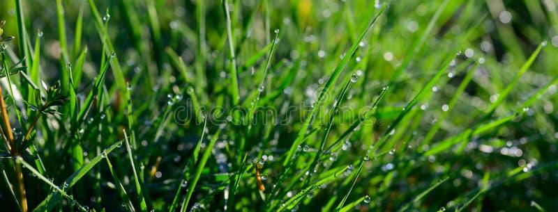 Tamaño de la bandera del rocío de la mañana que chispea en una hierba verde en luz del sol fotografía de archivo libre de regalías