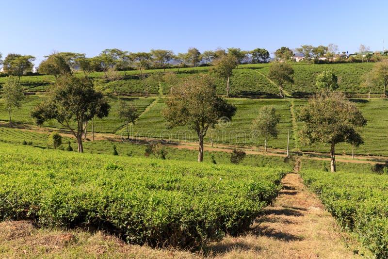 Tama Chau Herbaciana plantacja z zielona herbata krzakami w Bao zwianiu, Vietn zdjęcie stock