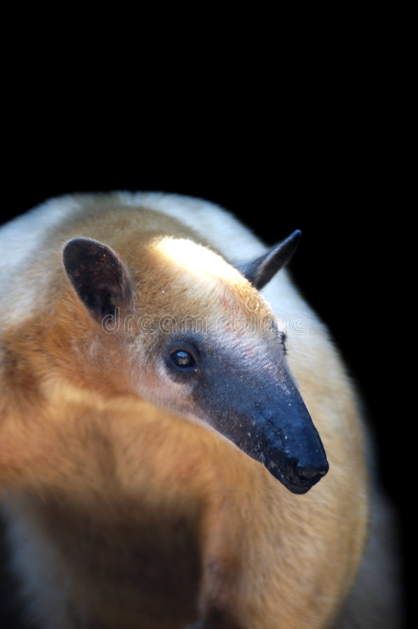 Tamandua royalty free stock photos