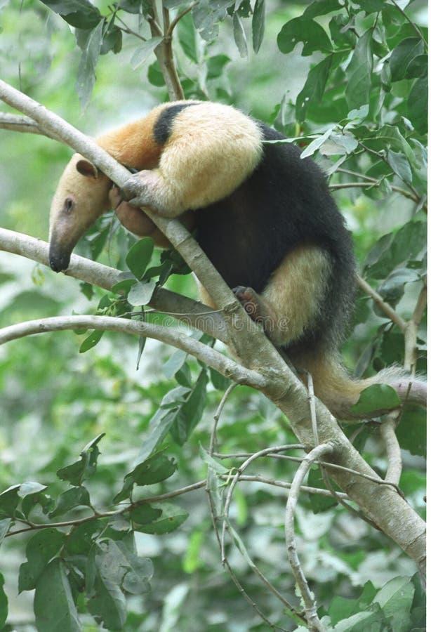 Tamandua (Anteater) Photos libres de droits