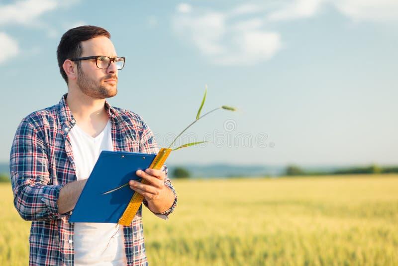 Tamanho de medição novo sério da planta do trigo do agrônomo ou do fazendeiro em um campo, redigindo dados em um questionário imagem de stock