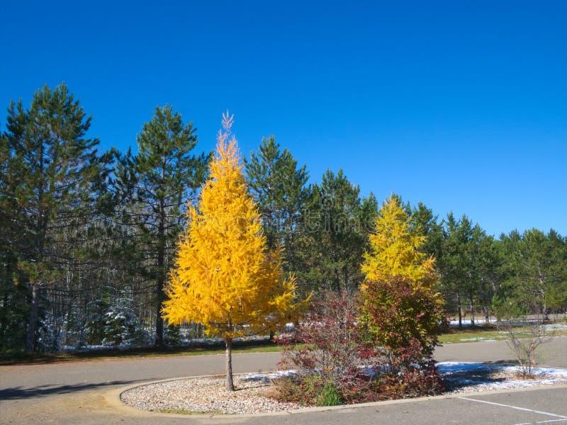 Tamarack drzewa w spadku, żółci drzewa wśród wiecznozielonych sosen obrazy stock