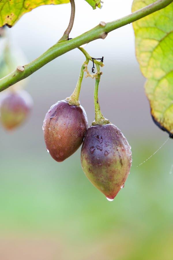 Tamarillo φρούτα στοκ φωτογραφίες