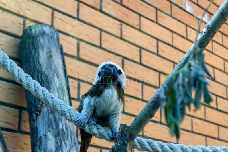 Tamarin Эдипа обезьяны черно-белого цвета малый стоковое изображение rf