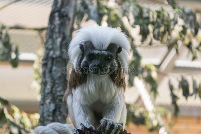 Tamarin Эдипа обезьяны черно-белого цвета малый стоковые фото