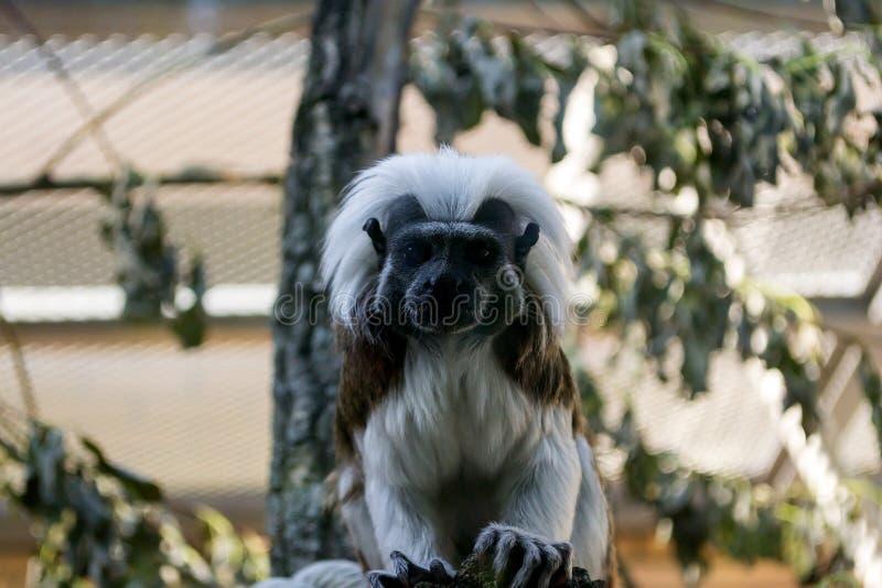 Tamarin Эдипа обезьяны черно-белого цвета малый стоковая фотография rf