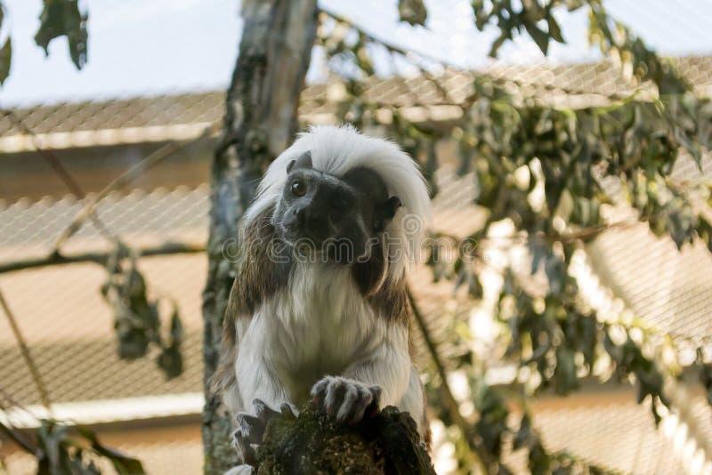 Tamarin Эдипа обезьяны черно-белого цвета малый стоковое изображение