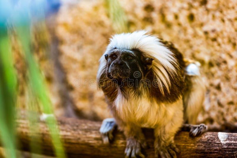 Tamarin au dessus du coton de titi de singe photographie stock