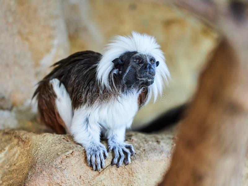 Tamarin au dessus du coton au zoo photographie stock libre de droits