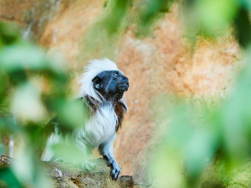 Tamarin au dessus du coton au zoo image libre de droits