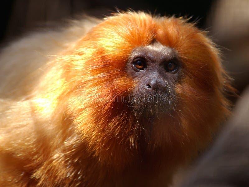 Tamarin d'or de lion photographie stock libre de droits