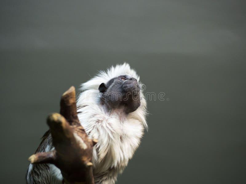tamarin da Algodão-parte superior em um ramo Cena dos animais selvagens com o macaco nas folhas verdes fotos de stock