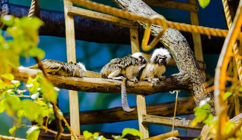 Tamarin de Coton-Dessus photos stock