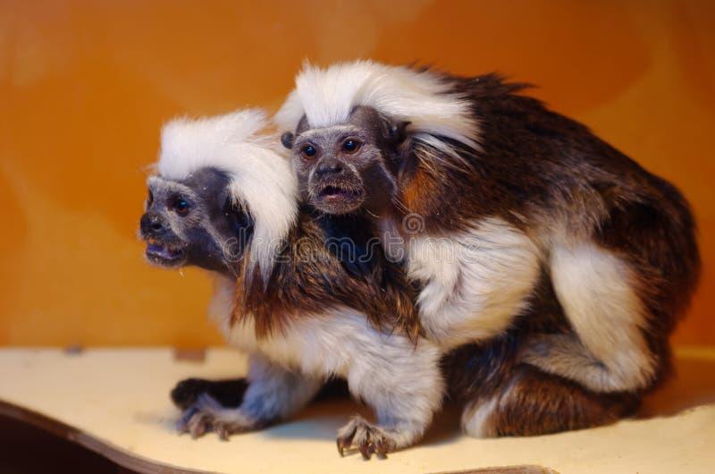Tamarin de Oedipus - macacos pequenos da família do sagui foto de stock royalty free