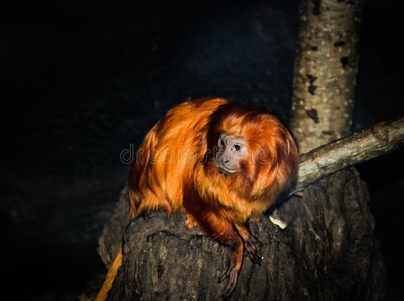 Tamarin de oro del león fotografía de archivo libre de regalías