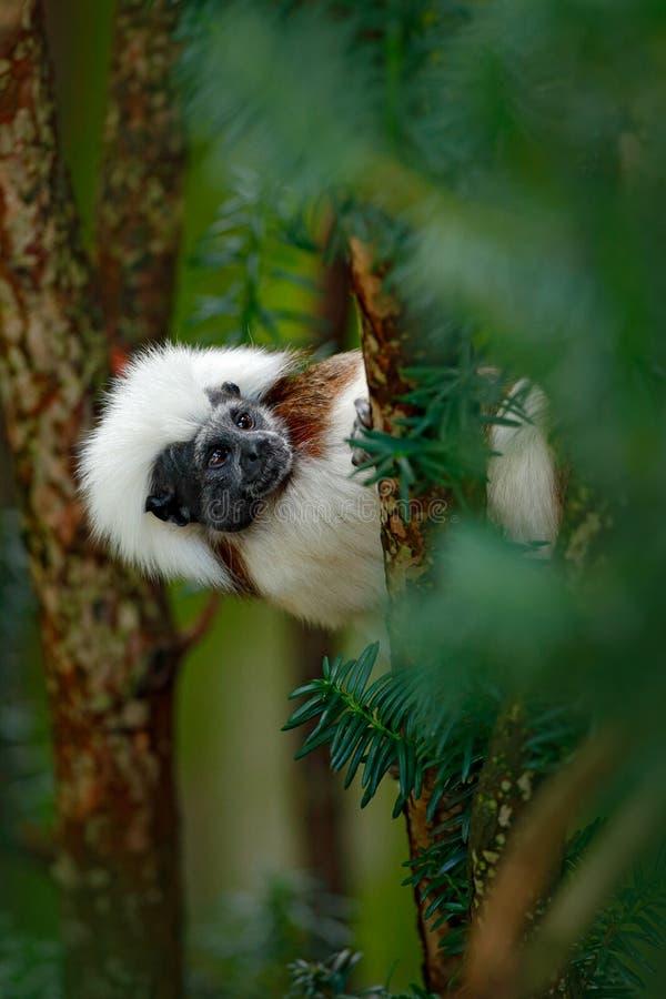 tamarin del Algodón-top, Rio Cauca, Colombia Pequeño mokley ocultado, animal tropical verde del bosque de la selva en Suramérica  fotos de archivo libres de regalías
