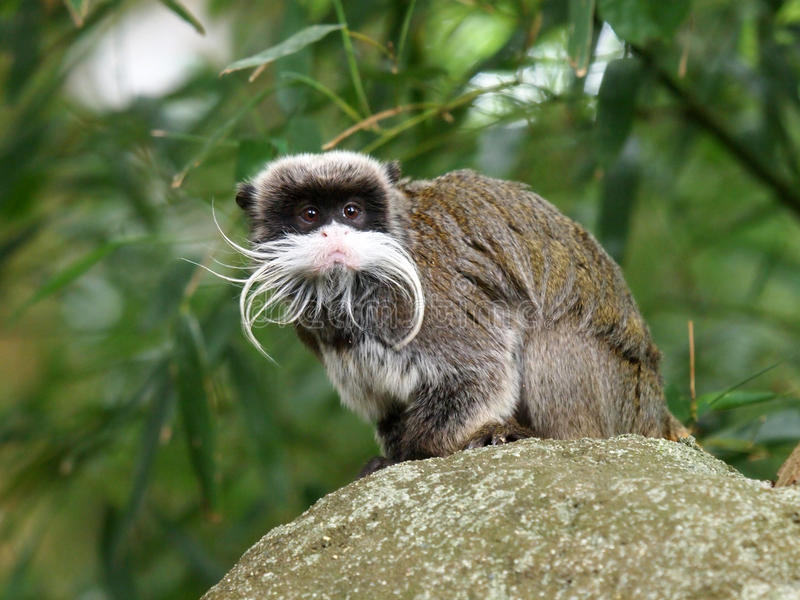 Tamarin do imperador imagem de stock royalty free